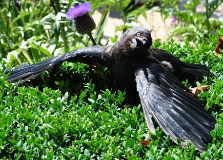 Crow deheating