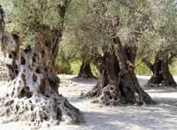 Cretan Olive Trees