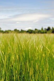 Day 1: wheat fields in Wiltshire